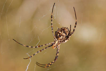 silk spider perched on its cobweb, Formentera Imagens