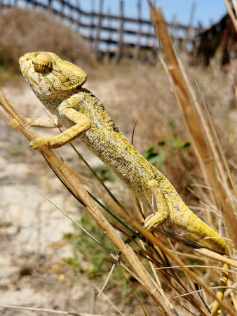 the chameleon uses its camouflage perched on the branches of the reeds Stock fotó