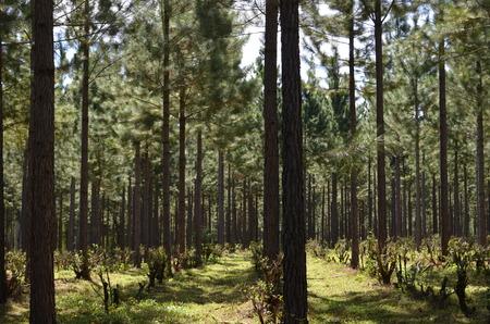 yerba mate: Pino y plantaci�n de yerba mate