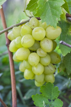 disrupted: Bunch of green grapes are not disrupted