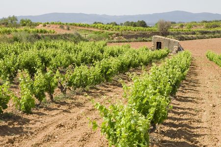 Vineyards in Montferri ( Alt Camp ), Tarragona province, Catalonia, Spain