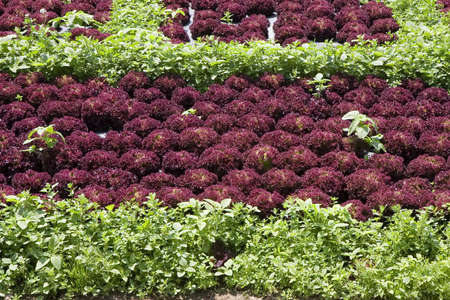 Rows of red lettuce and potato plants in a farm Stock Photo