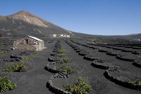 vineyard plain: Typical vineyard in La Geria, Lanzarote, Canary Islands, Spain Stock Photo