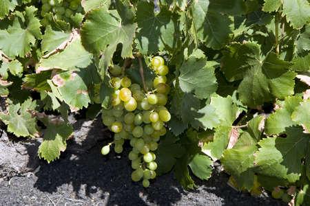 Vineyard in La Geria, Lanzarote, Canary Islands, Spain photo