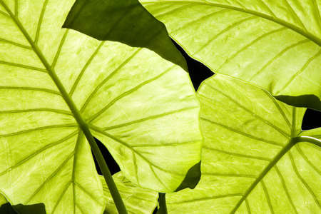 venation: Close-up of backlit Alocasia green leaves showing venation Stock Photo