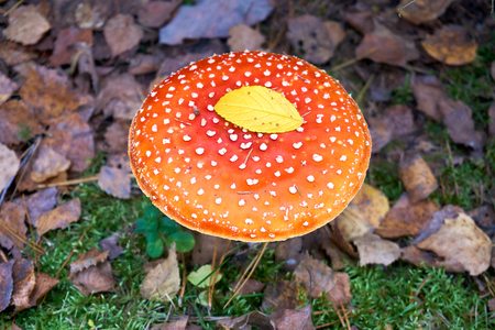 Amanita Muscaria (fly agaric or fly amanita), poisonous and hallucinogenic mushroom,l autumn forest.