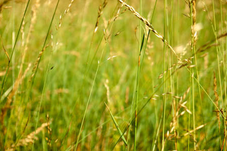 Green field, ears of cereal plants of natural forms. During flowering, cereals can cause seasonal allergies.
