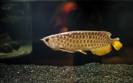 replica: Golden Dragon Fish Stock Photo