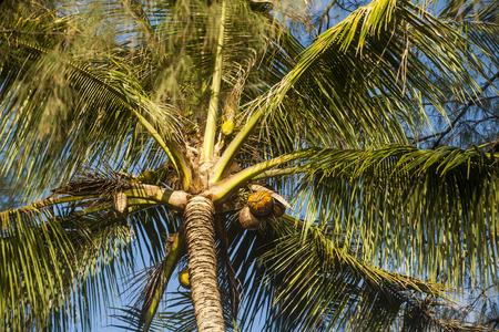 plantations: Coconut plantations