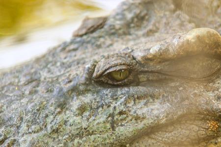 voracious: Crocodile