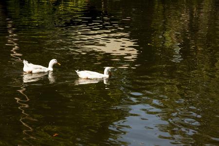 speculum: duck Stock Photo