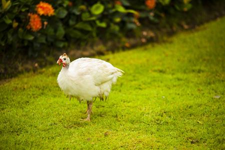 dabbling duck: White Bird Stock Photo