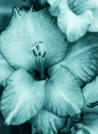 gladiolus: green gladiolus Stock Photo