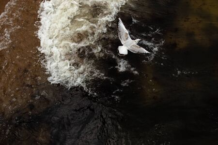 Flying Seagull. Palanga, Lithuania. Stock fotó - 131889981