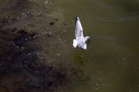 Flying Seagull. Palanga, Lithuania. Banco de Imagens