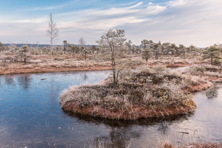 scots pine: Frosty morning in raised bog. Landscape with the frozen plants and the hoar-frost. Kemeri National park in Latvia