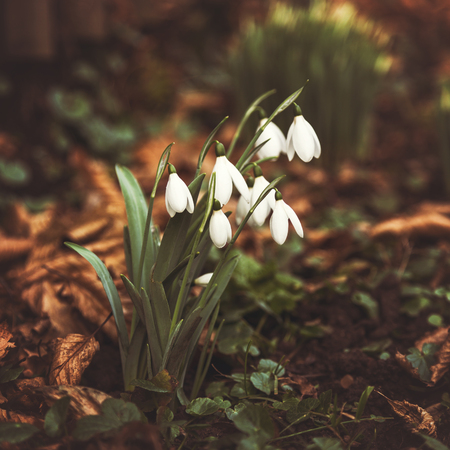 Beautiful snowdrops growing through a dry leaves. Toned, soft focus