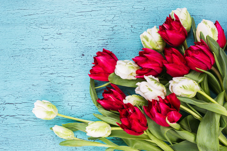 red tulips: Bouquet of white and red tulips on blue background. Top view. copy space