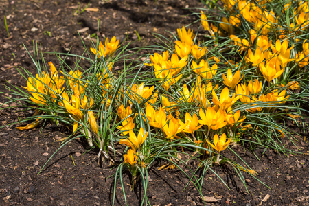 Yellow crocus flowers in the garden. Springtime