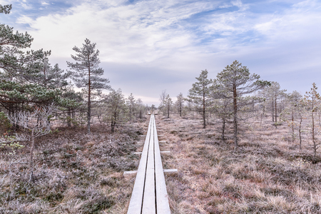 Frosty morning in raised bog. Boardwalk in raised bog, frozen plants and the hoar-frost. Kemeri, National park in Latvia Banque d'images