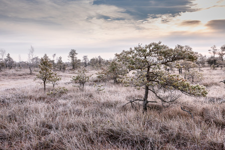 Frosty morning in raised bog. Landscape with the frozen plants and the hoar-frost. Kemeri, National park in Latvia