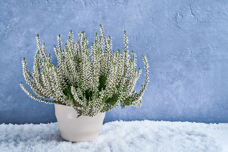 White calluna vulgaris or common heather flowers in white flower pot on blue background. Copy space Фото со стока