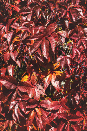 Autumn background with red leaves. Colorful Virginia creeper, wild grape background. Фото со стока