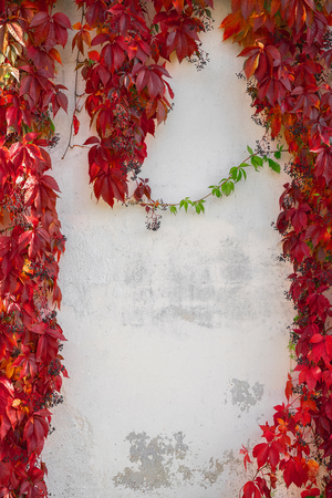 Autumn background with red leaves. Wild grape on white wall. Copy space. Colorful Virginia creeper background.