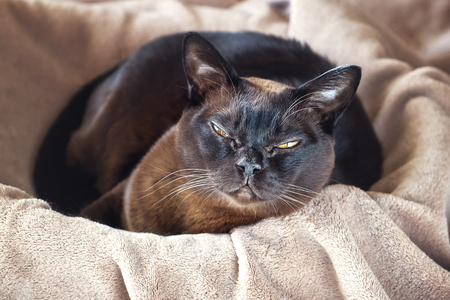 Burmese cat lying in a basket. Cat on the sun rising.Top view. Imagens