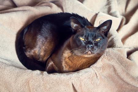 Burmese cat lying in a wicker basket. Top view.