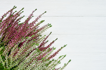 Bunch of pink and white common heather on white background. Copy space, top view. Calluna vulgaris flowers. Фото со стока