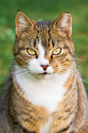 Portrait of a beautiful domestic tabby cat with bright yellow eyes sits in the green grass and looks to the camera