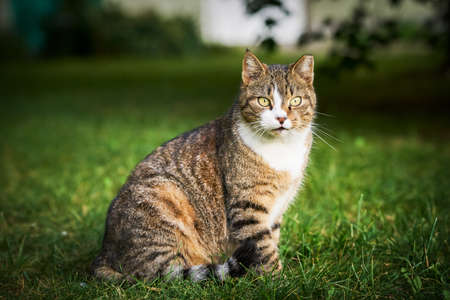 A beautiful domestic tabby cat with bright yellow eyes sits in the green grass and looks to the camera