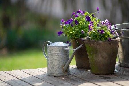 Violet bloom in flowerpot on wooden terrace with galvanized watering can  photo