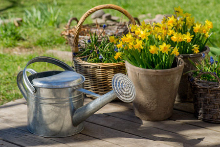 Narcissus bloom in flowerpot next to galvanized watering can on grey wooden deck. photo