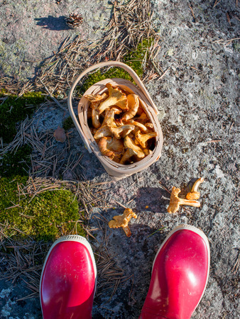 Fresh picked mushrooms in the basket. Harvesting mushrooms. Filling basket with fresh chantarelles. Starting a healthy life. Healthy diet. photo