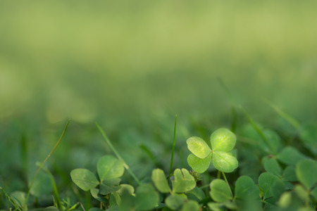 four leaved: Four leaved fortune clover growing in sunlight on ground.  Finding four leaf clover  Green background for good luck presentation  charm symbol growing naturally  Stock Photo