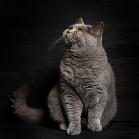 characteristic: British shorthar sitting. Black background. characteristic portrait of a cat. Stock Photo