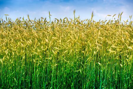 Shot of a wheat field Stock Photo