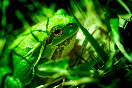 chordates: Macro shot of a European tree frog, hiding in the grass.