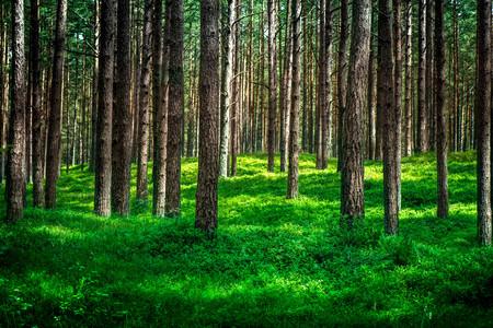 Ontsproten van een pijnboombos en een dikke laag van een mos. De foto is genomen in een bos in de buurt van de Oostzee. Stockfoto