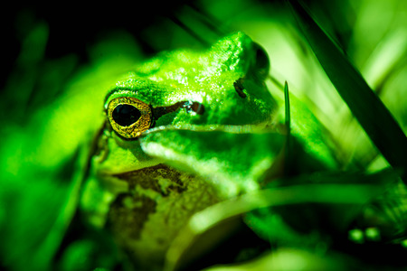 Macro shot of a European tree frog, hiding in the grass.