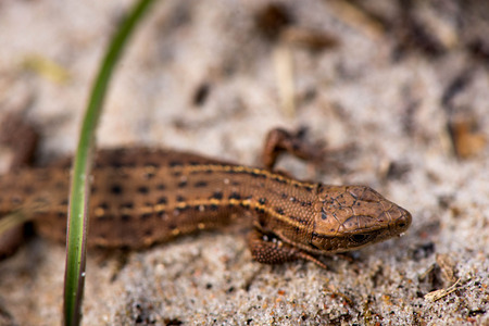 animal viviparous: Macro shot of a tiny lizard in the forest near the Baltic sea Stock Photo