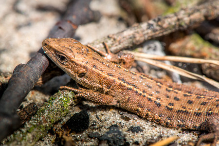 viviparous: Macro shot of a lizard. Early spring. Nature is awakening. Reptiles seeking for first sun rays, coming out from forest. Animals, wildlife, dinosaur, alligator, snakes. Summer, spring, autumn scene.