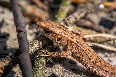 Macro shot of a lizard. Early spring. Nature is awakening. Reptiles seeking for first sun rays, coming out from forest. Animals, wildlife, dinosaur, alligator, snakes. Summer, spring, autumn scene.