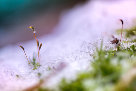 Winter in the forest. Nature are awakening and hoping for sun and warmth. A macro shot of moss plants reaching for daylight and first sunbeams. Ice, snow on green grass and thick moss layer in forest