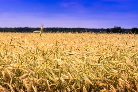 Shot of a wheat field and blue sky on a sunny day. The photo is taken in the country side near the Baltic Sea