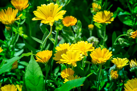 Shot of blooming marigolds on a sunny summer day