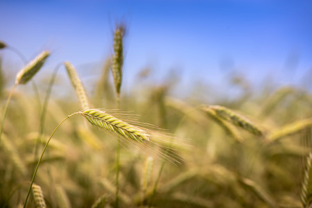 Macro shot of a wheat ears on a wheat field on a sunny summer day on clear blue sky background Stock Photo