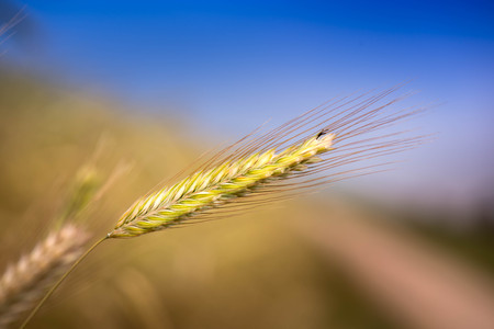 Macro shot of a isolated wheat ear on a sunny day. Blue sky in the background.